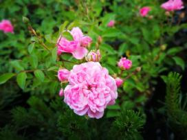 Rožė Fairy - nuotraukos Nr. 17