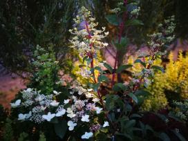 Hortenzija šluotelinė - nuotraukos Nr. 14