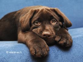 Labradoriukai rudi - šokolado spalvos (Nebrangiai)