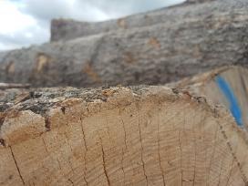 Perkame apvalią uosio medieną