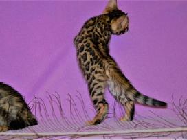 Kilmingi bengalijos kačiukai