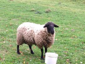 Parduodu avis veislei ir skerdienai