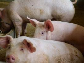 Parduodamos kiaulės