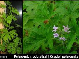 Vaistinį kambarinį augalą Jeronimas - pelargonija.
