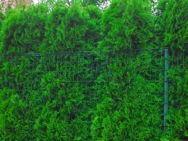Ispardavimas Tujos smaragd