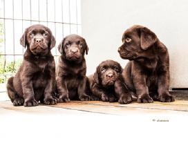 Labradoriukai rudi - šokolado spalvos
