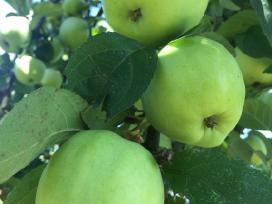 Antaniniai obuoliai
