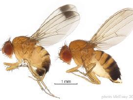 Muselės Drosophila ir Springtails (Collembola)