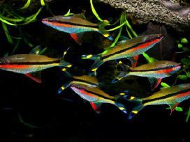 Akvariumines zuvys - nuotraukos Nr. 3