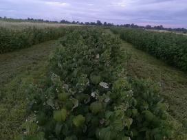 Aviečių sodinukai, gervuogės, šilauogės