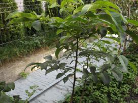 Vaismedžių, vaiskrūmių sodinukai ir gėlės - nuotraukos Nr. 5