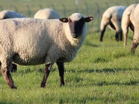 Brangiai perka avis, avinus, ėriukus