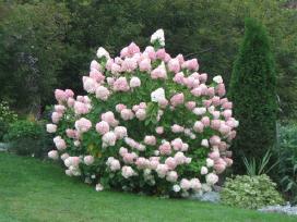 Labai gražios šluotelinės hortenzijos