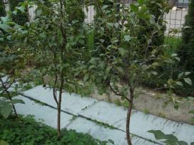 Vaismedžių, vaiskrūmių sodinukai ir gėlės - nuotraukos Nr. 10
