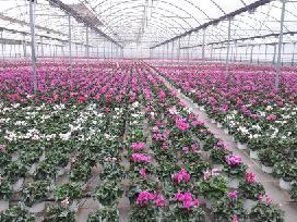 Trąšos gėlėms Mivena (Olandija)