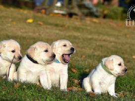 Kilmingi labradoro retriverių šuniukai - nuotraukos Nr. 6