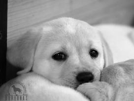 Kilmingi labradoro retriverių šuniukai - nuotraukos Nr. 2