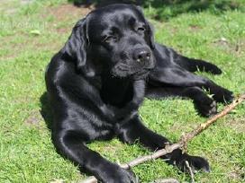 Kilmingi Labradoro Retriverio Šuniukai Iš Veislyno - nuotraukos Nr. 10