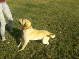 Labradoro retriveris ieško patelės. - nuotraukos Nr. 2