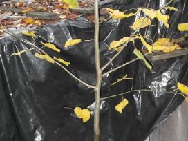 Vaismedžių, vaiskrūmių sodinukai ir gėlės - nuotraukos Nr. 11