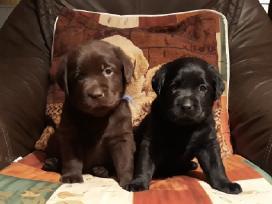Kilmingi Labradoro Retriverio Šuniukai Iš Veislyno