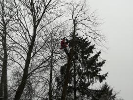 Pavojingai augančių medžių pjovimas, arboristai.