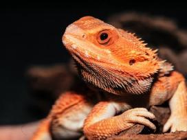 Pogona vitticeps (barzdotasis drakonas, agama)