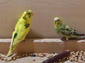 Prekiaujame paukščiais iš veislyno urmu - nuotraukos Nr. 2