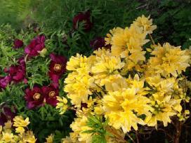Aplinkos sutvarkymui: tujos, pušys, gėlės