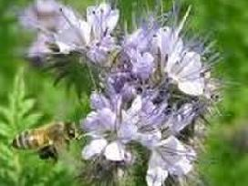 Švariai išvalyta bitinės facelijos sėkla, barkūnas