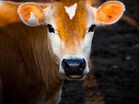 Brangus gyvuliu supirkimas karves bulius telycias