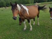 Parduodu pigiai kersus arklius - nuotraukos Nr. 3