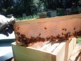 Sviezias Lietuviškas bičių medus - nuotraukos Nr. 2