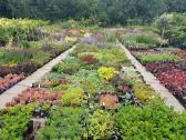 Daugiametės gėlės, dekoratyviniai augalai - nuotraukos Nr. 2