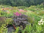 Daugiametės gėlės, dekoratyviniai augalai - nuotraukos Nr. 3