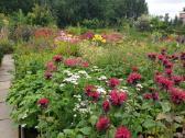 Daugiametės gėlės, dekoratyviniai augalai - nuotraukos Nr. 4