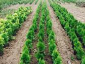 Tujos Smaragd-geromis kainomis - nuotraukos Nr. 4