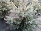 Gražiausios Kalėdų eglutės ir Nordman kėniai - nuotraukos Nr. 4