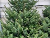Gražiausios Kalėdų eglutės ir Nordman kėniai - nuotraukos Nr. 2