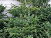 Gražiausios Kalėdų eglutės ir Nordman kėniai - nuotraukos Nr. 3