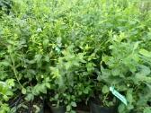 Šilauogių Reka ir aktinidijų sodinukai