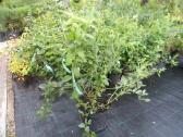 Šilauogių Reka ir aktinidijų sodinukai - nuotraukos Nr. 2