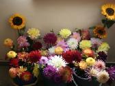 Gėlių sodinukai, gausus pasirinkimas - nuotraukos Nr. 4