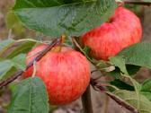 Obelys, kriaušes, vyšnios, trešnes, slyvos, persik - nuotraukos Nr. 2