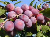 Obelys, kriaušes, vyšnios, trešnes, slyvos, persik - nuotraukos Nr. 4