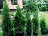 Tujos Smaragd nuo 25cm. iki 1,70 m._akcija! - nuotraukos Nr. 4