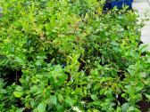 Šilauogių sodinukai - nuotraukos Nr. 4