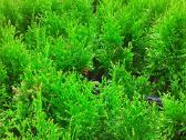 Tujos Smaragd ir kiti dekoratyviniai augalai - nuotraukos Nr. 3