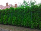 Tujos Smaragd ir kiti dekoratyviniai augalai - nuotraukos Nr. 4