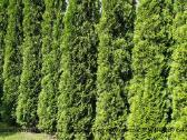 Tujos gyvatvorėms - Smaragd, Brabant, Columna - nuotraukos Nr. 4